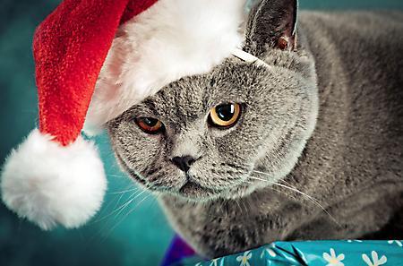 Фото кот британский шапка новогодняя