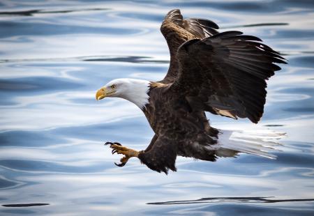 Картинки белоголовый орлан, птица, хищник, крылья