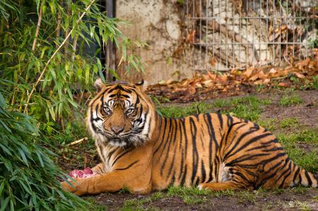 Обои тигр, суматранский, кошка, куст