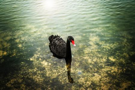 Заставки вода, мелководье, лебедь, черный