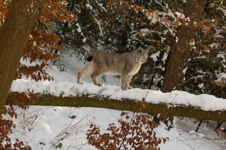 Заставки рысь, кошка, снег, зима