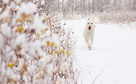 Фотографии белая собака, зимой, на снегу, бежит