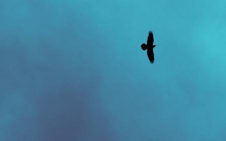 Заставки Ворон, небо, птица, природа