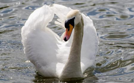 Фото лебедь, белый, грация, шея