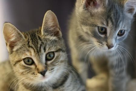 Обои животные, котята, взгляд, ушки