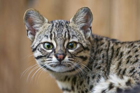 Фотографии кошка Жоффруа, морда, взгляд, кот