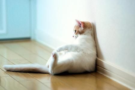 Фото кошка torode, белого цвета, сидит на полу, балдеет