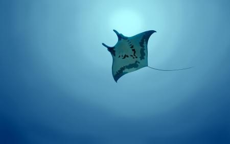 Картинки животные, подводный мир, морские обитатели, морской скат