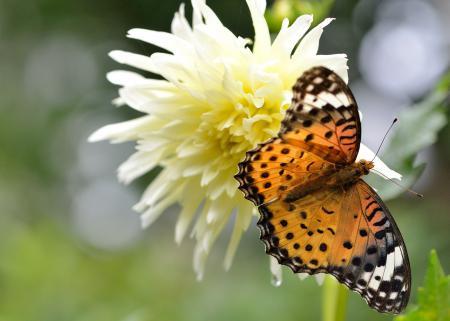 Картинки бабочка, Аргирей, георгина, цветок