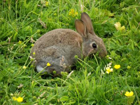 Картинки кролик, трава, лютики, природа