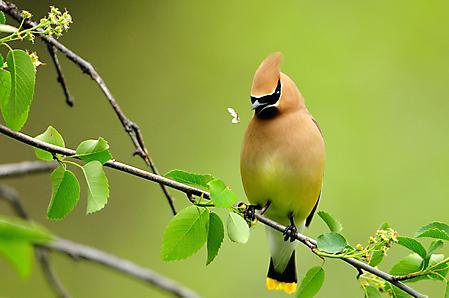 Фотографии птица с хохолком, ловит бабочку, ветка