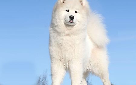 Заставки пушистая шкура, белая собака, белоснежный цвет, кончик языка