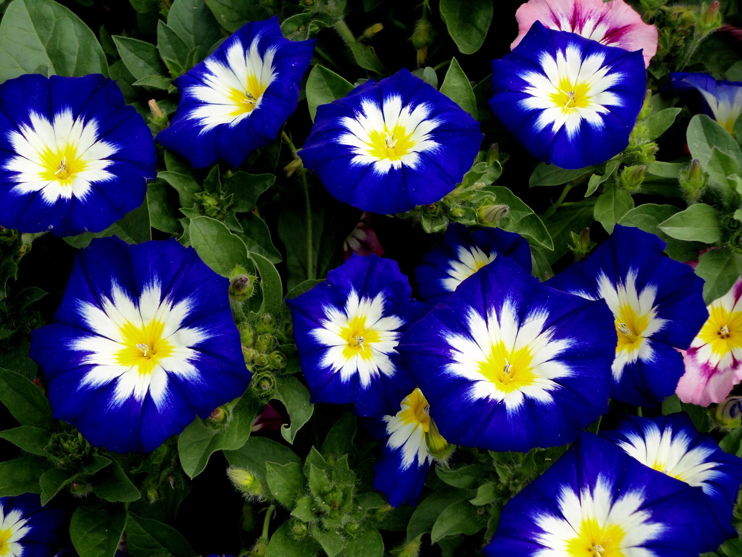 Картинки синие цветочки - cf