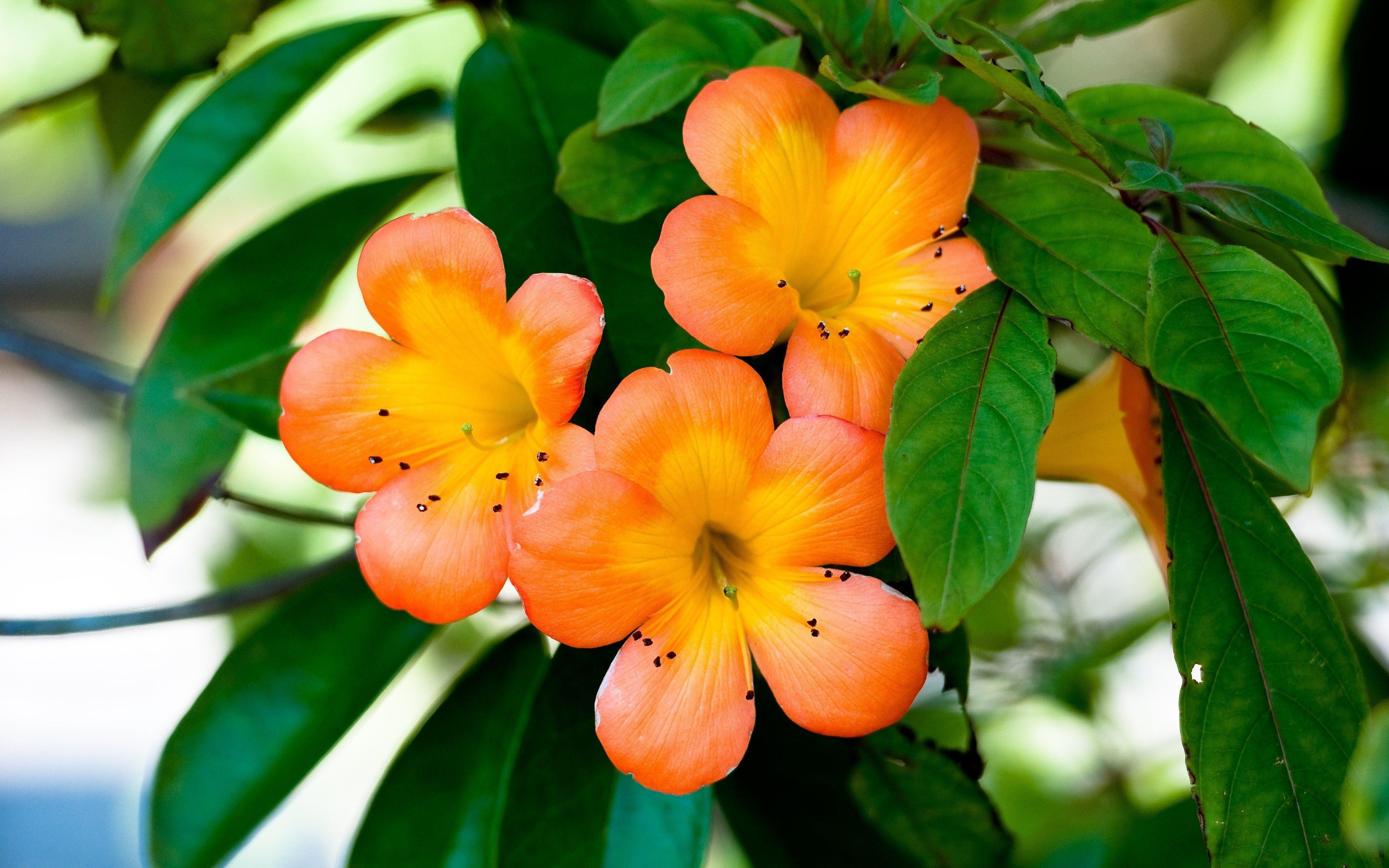Обои оранжевые цветы лепестки ветка
