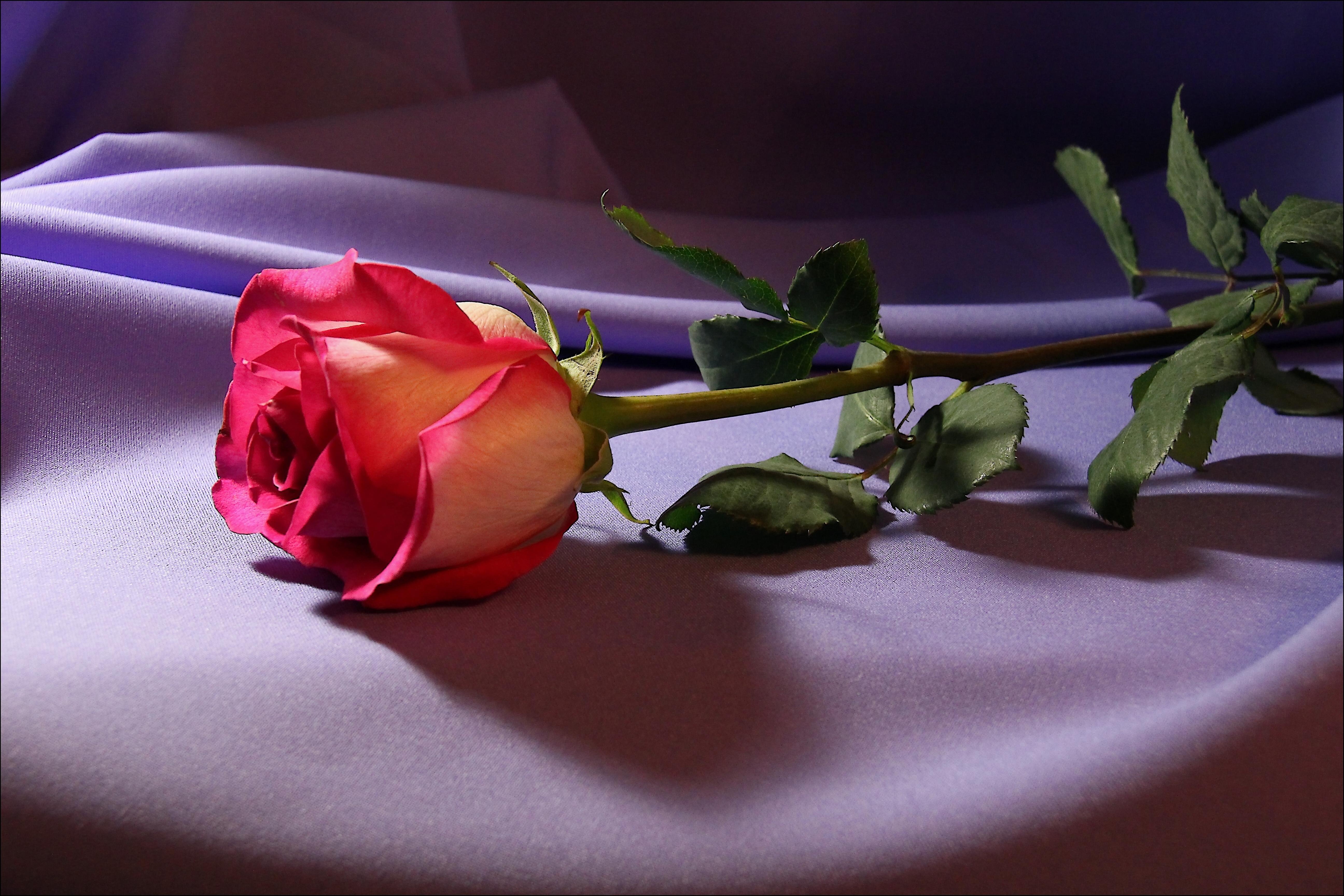 Роза картинки высокого разрешения 3