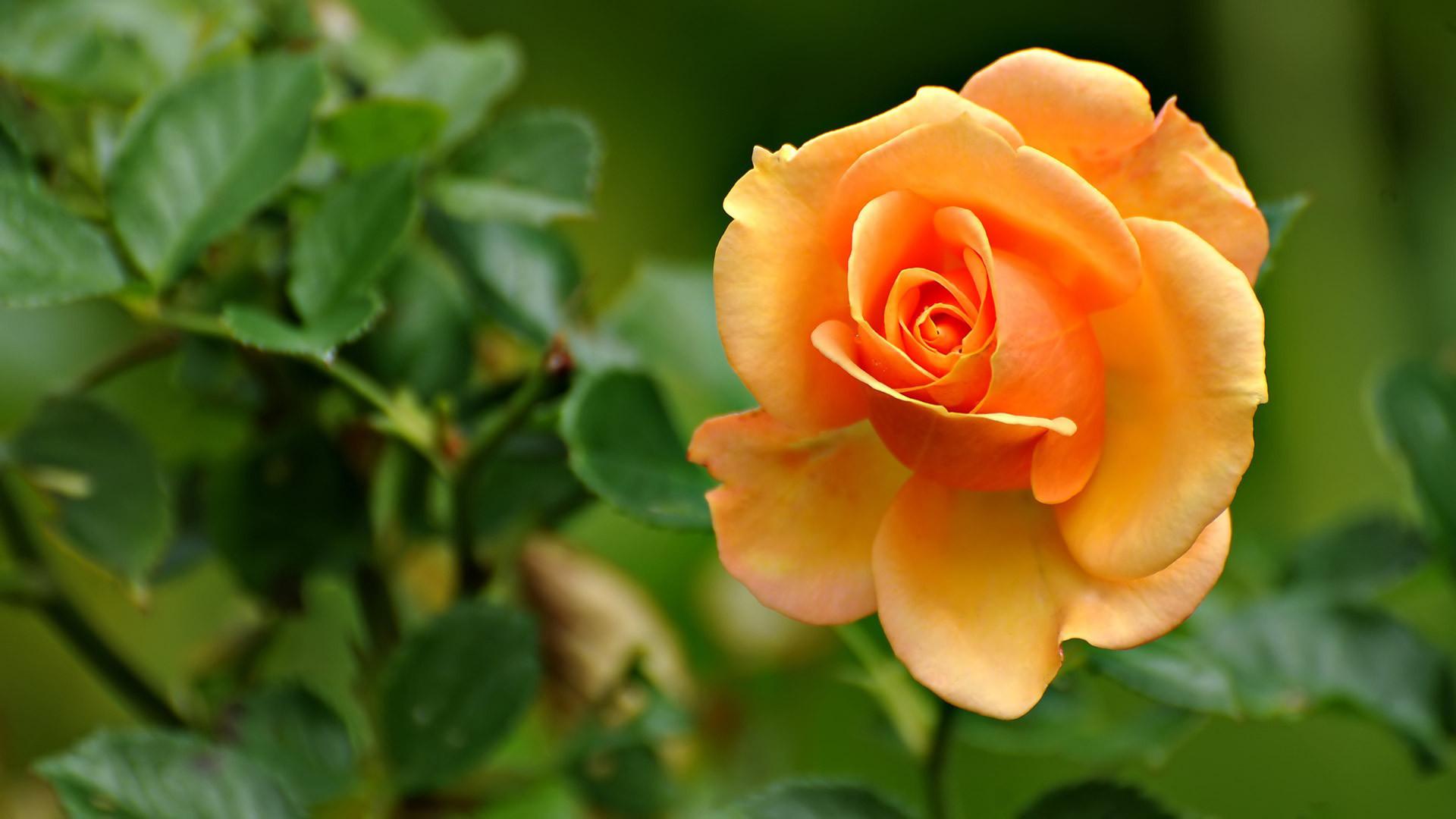 Розы на фото лучшие картинки красивых цветов роз - c