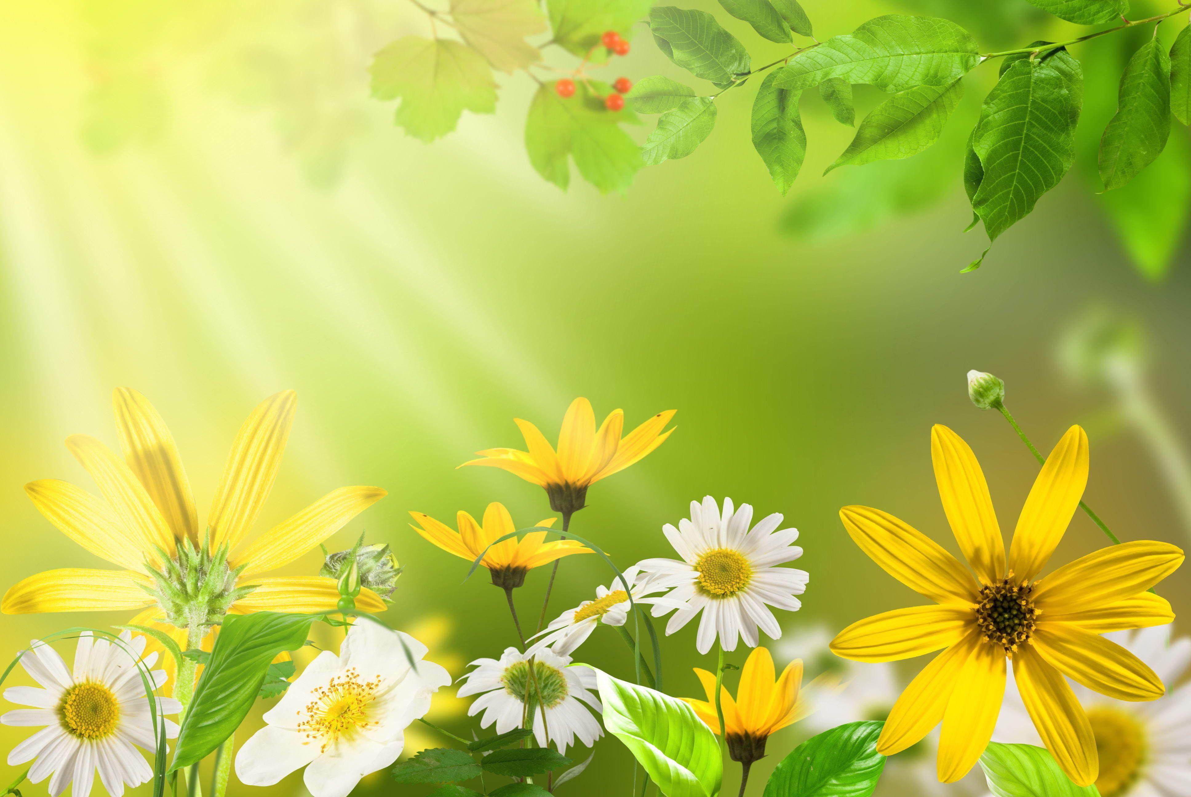 Обои ромашки полевые цветы красивые