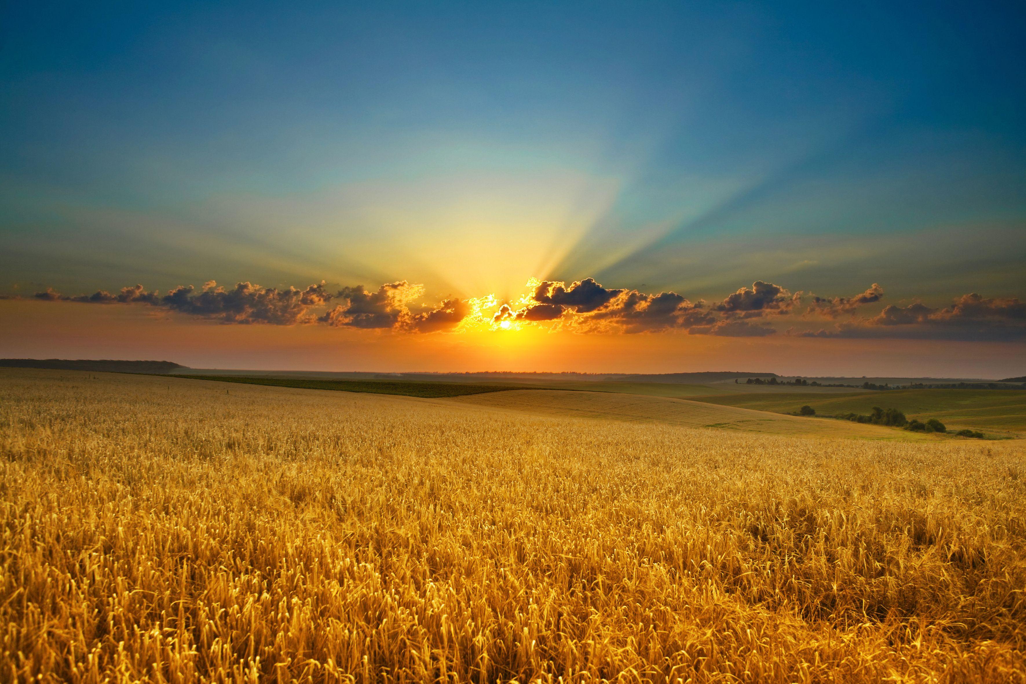 Картинки поле пшеницы, колосья, солнце ...: xorst.ru/oboi?view=detail&id=1499