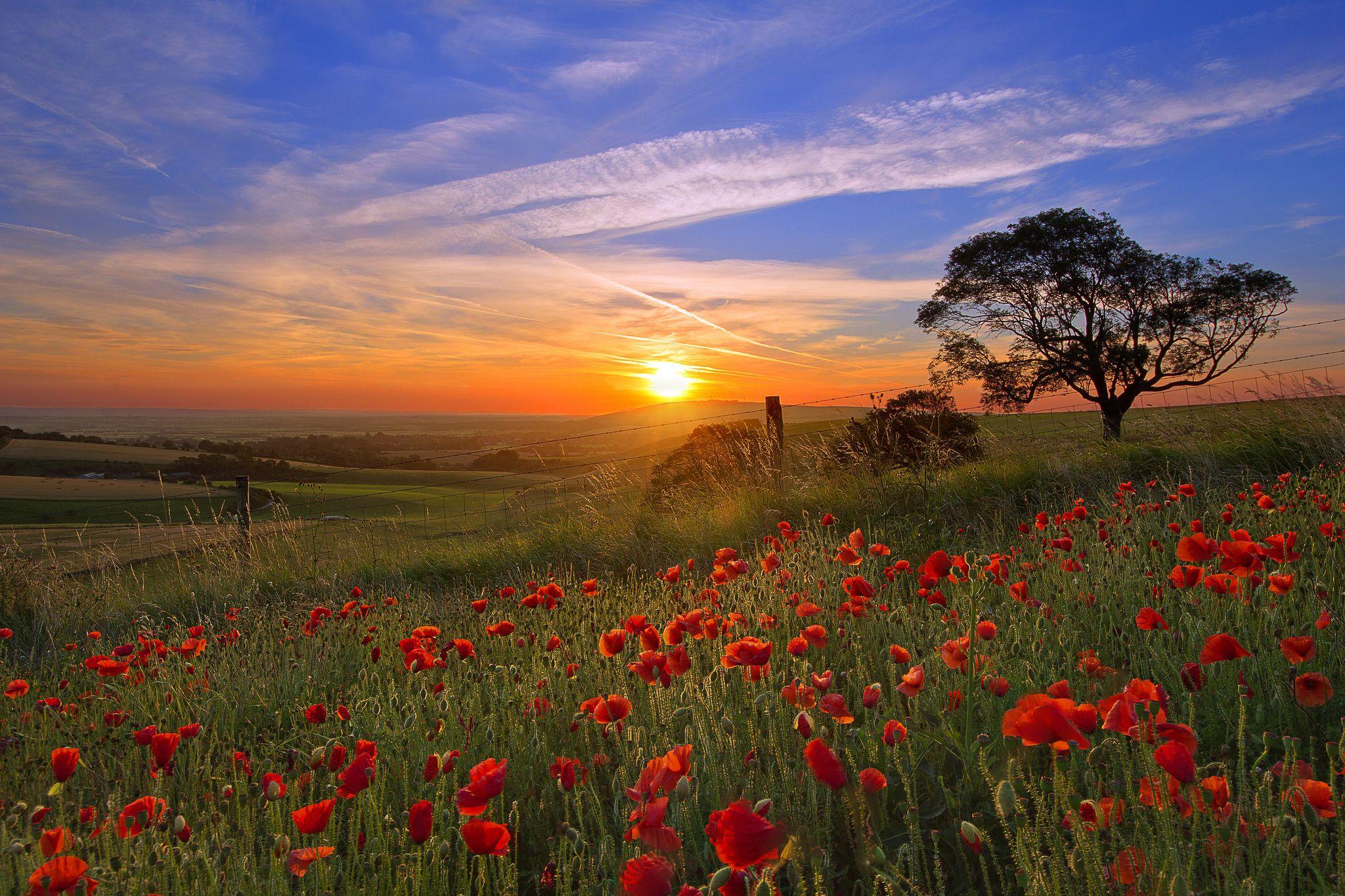 Красивые цветы красные маки огород