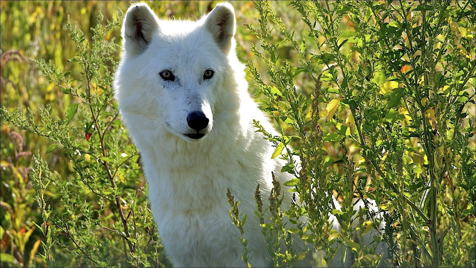 Картинки Волк, скачать заставки белый ...: xorst.ru/oboi?view=detail&id=5426