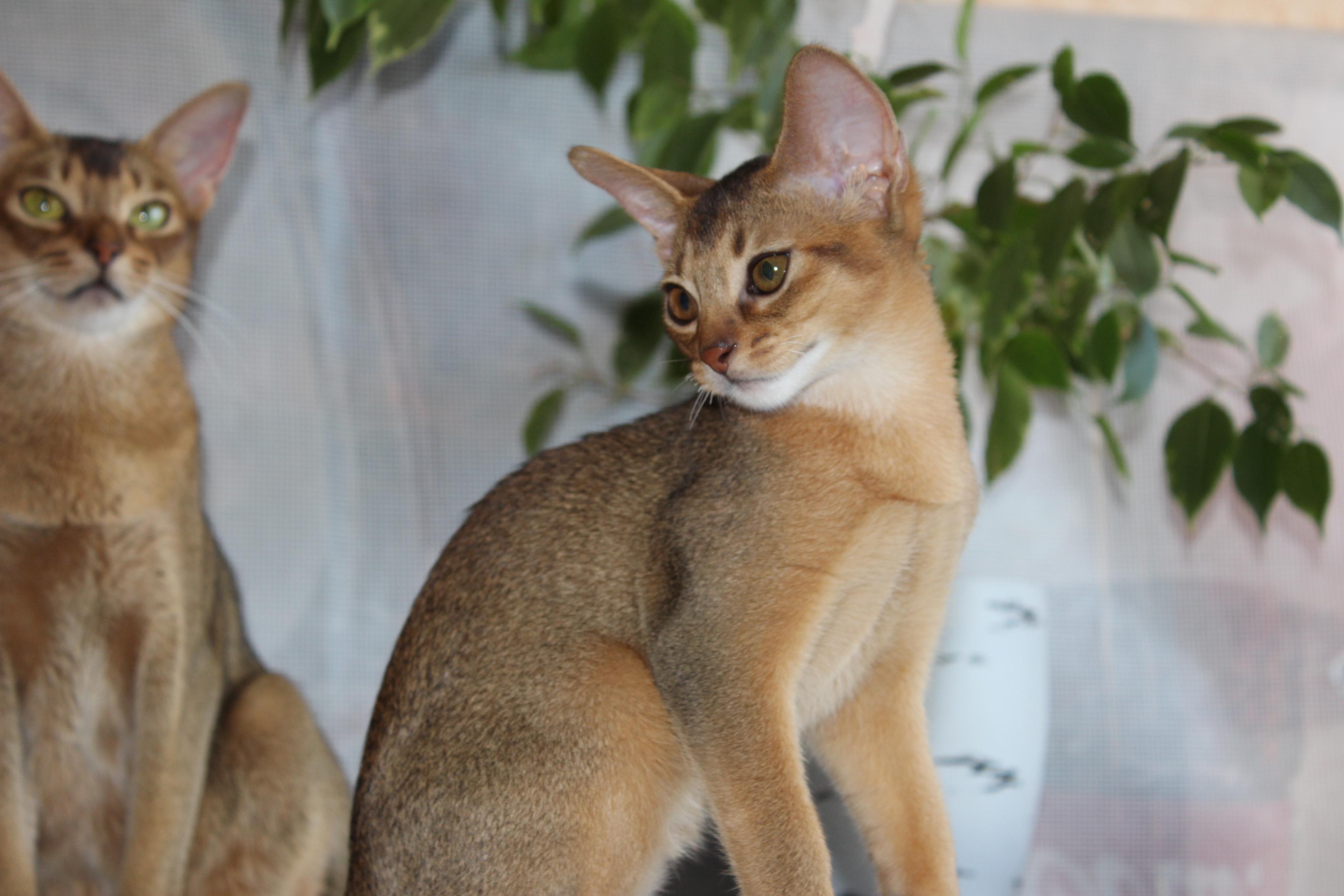 Обои на рабочий стол абиссинская кошка