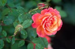Картинки роза скачать на рабочий стол, фото бутоны