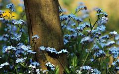 Обои незабудки скачать на рабочий стол, фото полевые  цветы