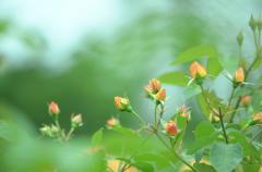 Обои цветы скачать на рабочий стол, заставки оранжевые розы