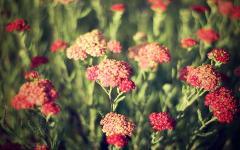 Картинки красные цветы скачать для рабочего стола, фотографии поле