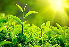 Картинки чайные листья скачать для рабочего стола, фото зеленые
