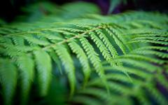 Фото Green ferns, Blue Mountains, New South Wales, Australia