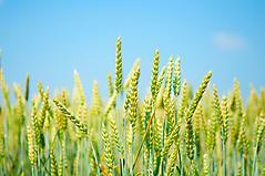 Картинки пшеница на поле скачать для рабочего стола, заставки колосья