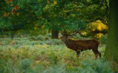 Картинки Благородный олень скачать на рабочий стол, фотографии лес