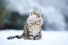 Картинки кошка зимой, скачать заставки пушистая